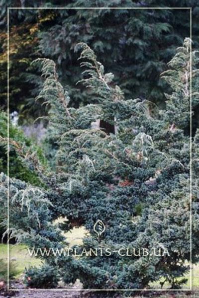 p-34640-juniperus-squamata-meyeri-compacta.jpg