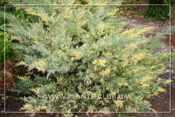 p-34645-juniperus-x-pfitzeriana-blue-and-gold.jpg