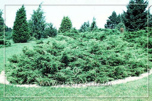 p-34649-junioerus-x-pfitzeriana-glauca.jpg