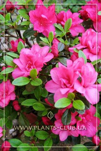 p-34976-azalea-japonica-rubinetta.jpg