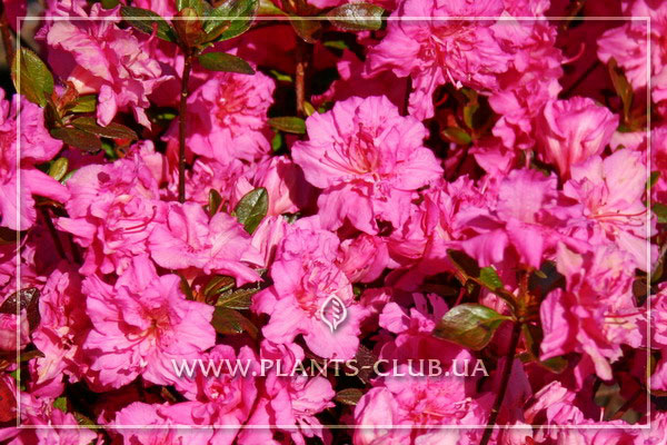 p-34983-rhododendron-petticoat.jpg