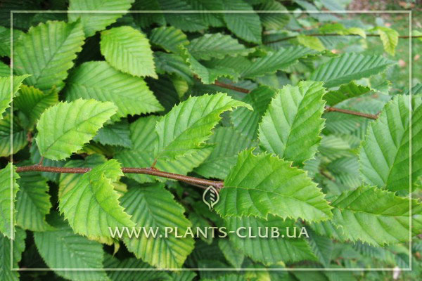p-35034-carpinus-betulus-1.jpg