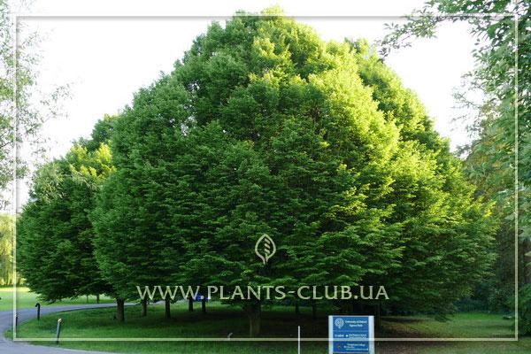 p-35034-carpinus-betulus-2.jpg