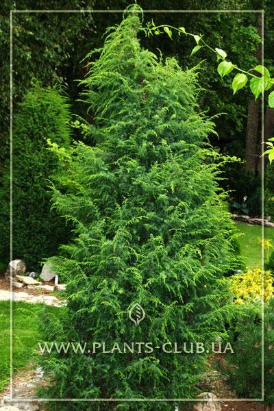 p-35073-juniperus-communis-suecica.jpg