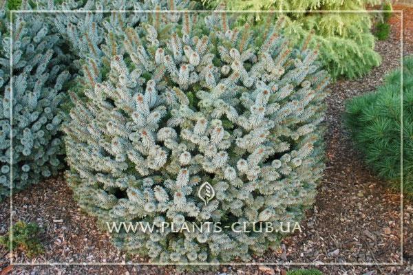 p-35086-picea-sitchensis-silberzwerg.jpg