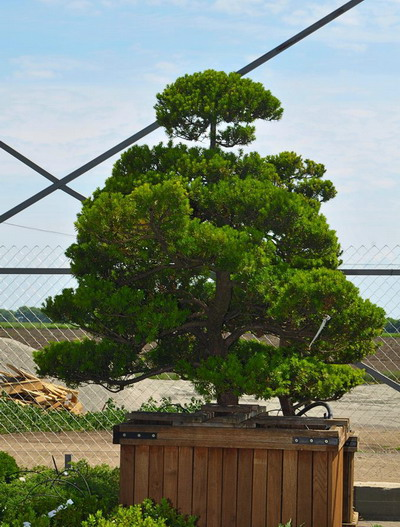 p-35107-taxus-x-media-bonsai.jpg