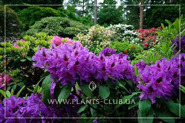 p-35132-rhododendron-azurro6.jpg