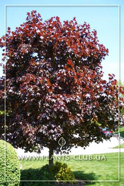 p-35150-acer-platanoides-royal-red.jpg