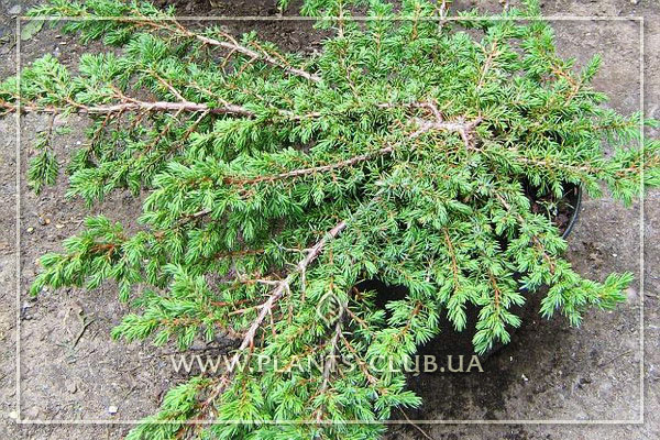 p-35202-juniperus-communis-green-mantle.jpg