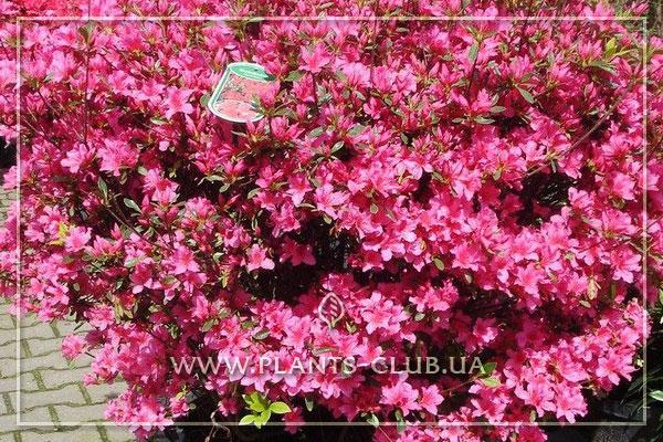 p-35211-azalea-japonica-mix.jpg