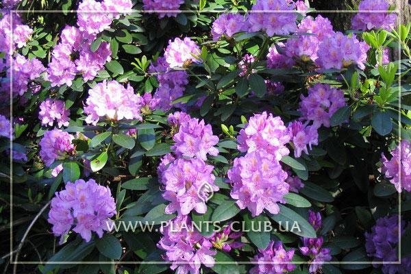 p-35228-rhododendron-catawbiense-grandiflorum.jpg