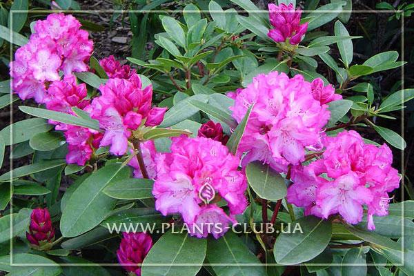 p-35236-rhododendron-blurettia.jpg