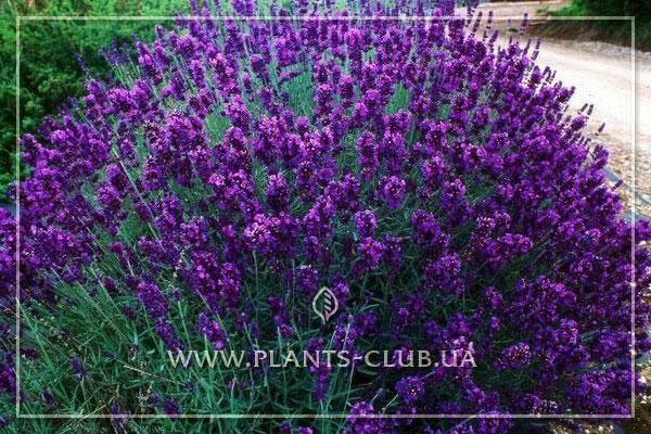 p-35244-lavandula-angustifolia-dark-hidcote.jpg