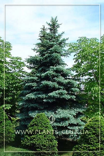 p-35345-picea-pungens-koster.jpg