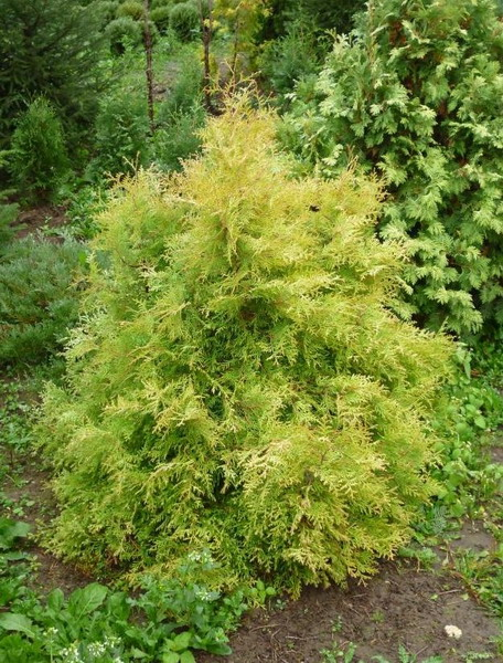 p-35377-thuja-occidentalis-cloth-of-gold.jpg