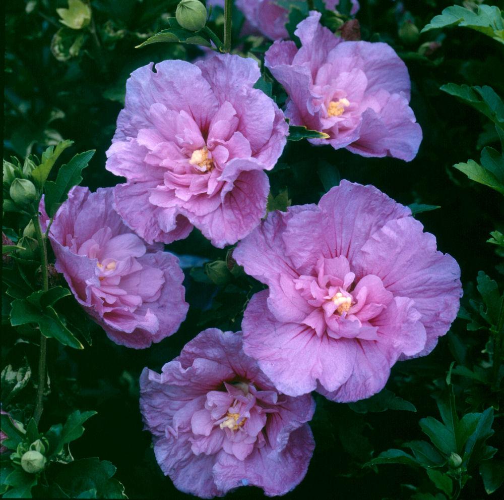 p-35391-hibiscus_syriacus_lavender_chiffon.jpg