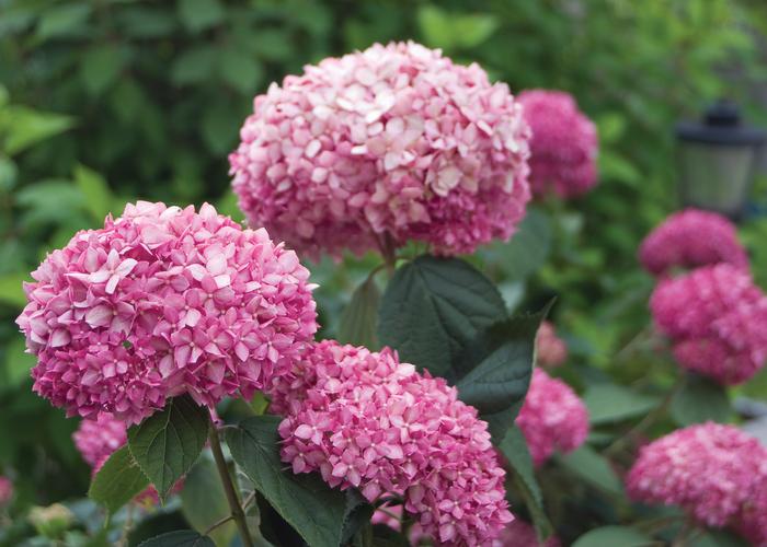 p-35407-hydrangea-arborescens-pink-annabelle.jpg