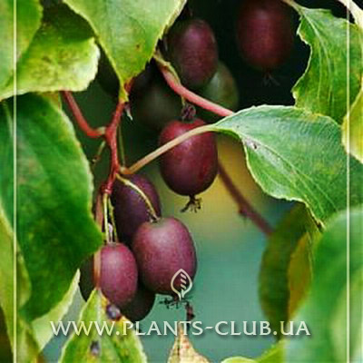 p-35445-actinidia-arguta-purpurna-sadowa-1.jpg