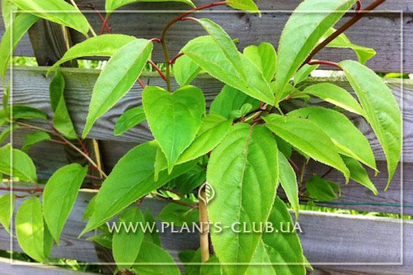 p-35445-actinidia-arguta-purpurna-sadowa.jpg