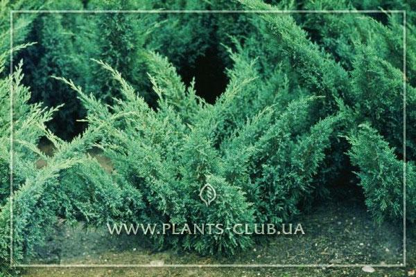 p-35503-juniperus-sabina-blaue-donau.jpg