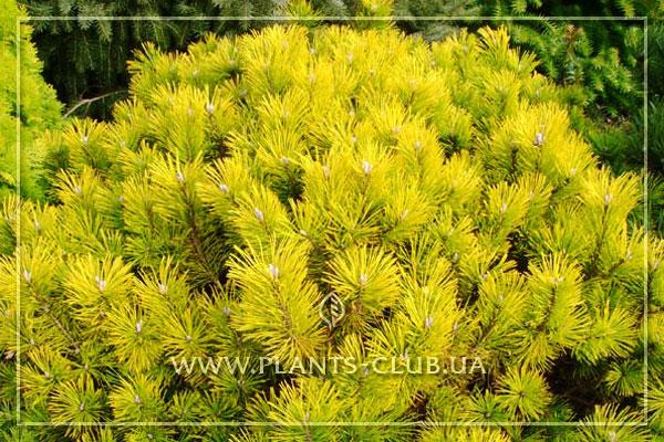 p-35511-pinus-mugo-golden-glow-2.jpg
