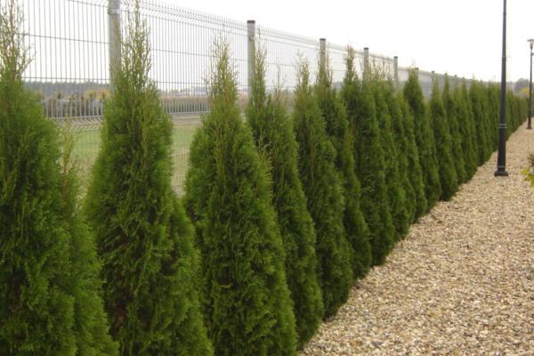 p-35542-thuja-occidentalis-smaragd-witbont.jpg