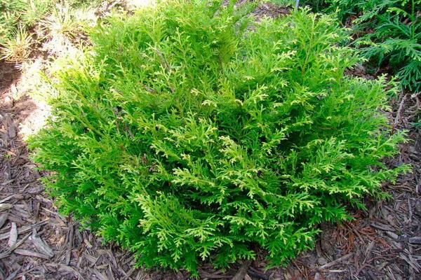 p-35546-thujopsis-dolabrata-nana.jpg