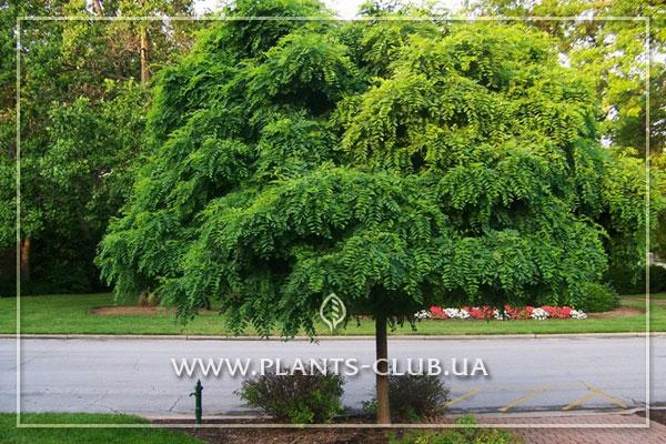 p-35550-robinia-pseudoacacia-umbraculifera.jpg
