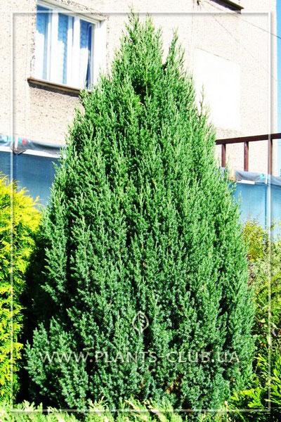 p-35565-juniperus-chinensis-stricta-variegata.jpg