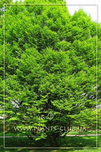 p-35573-carpinus-betulus-fastigiata.jpg