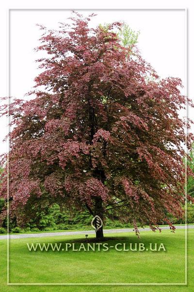 p-35579-fagus-sylvatica-tricolor.jpg