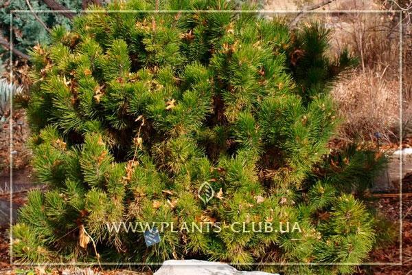 p-35589-pinus-nigra-pygmaea.jpg