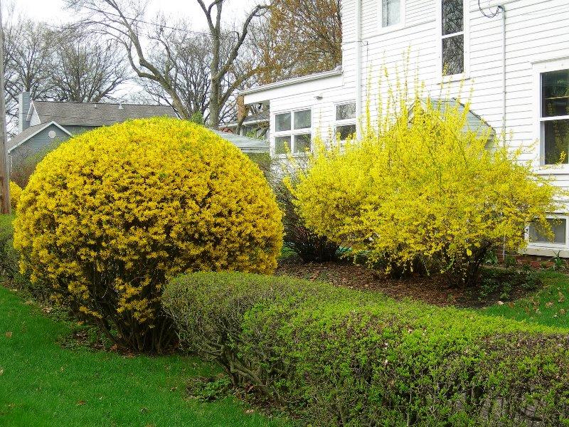 форзиция, уход, советы, растение, цветы, сад, поливание
