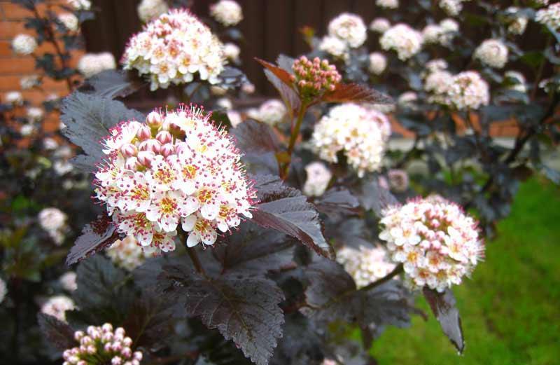 пузыреплодник калинолистый, растения, сад, огород, уход, советы,
