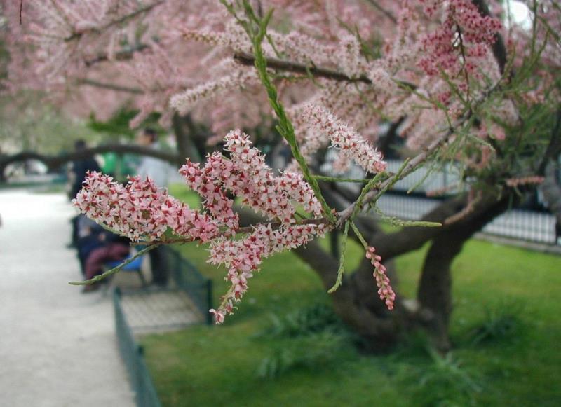 цветы, весна, уход, соцветия, сирень, гамамелис. тамариск,