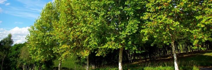 платан, дерево, уход, советы, сад, огород, сквер, растение, цветы, почва, поливание, правила