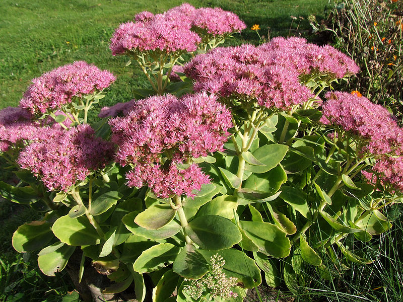 сад, уход, советы, растения, осень, цветы, верес, очиток, астры, хризантемы, рудбекия