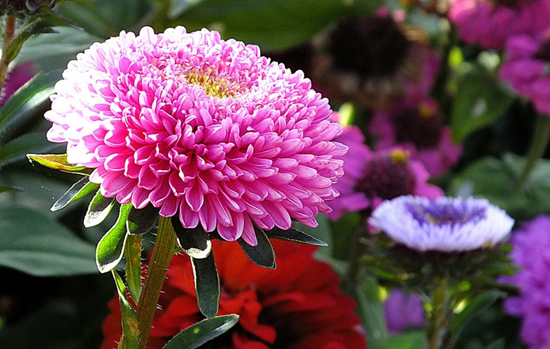 астры, уход, полив, подрезание, почва, грунт, советы, растения, сад, цветы, солнце, заморозки, подпитка