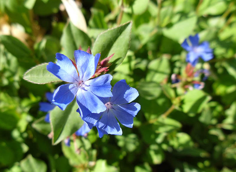 Цератостигма, цветы, кустарник, уход, растения, сад, полив, почва, солнце, советы, цветение