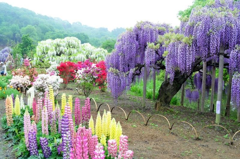 сад. японія, Каваті Фуджі Сад , чудо, растения, сад, глицинии