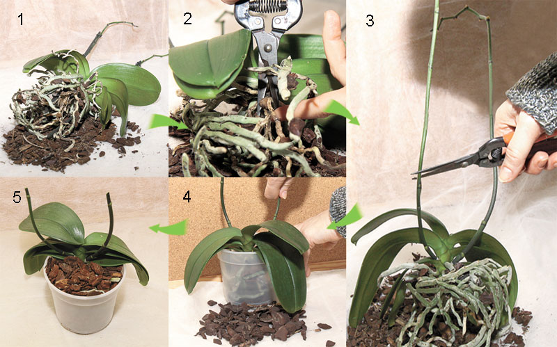 Обрезка орхидей уход за орхидеями в домашних условиях 896