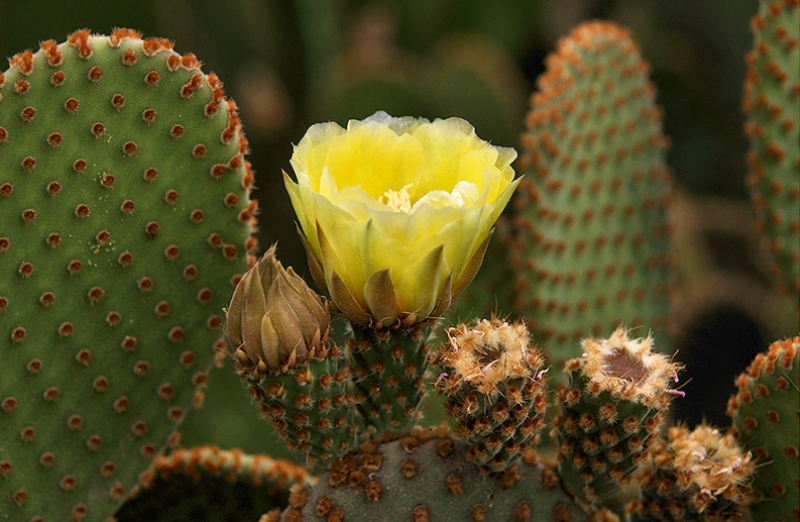 советы, кактусы, вредители, уход, поливание, пересадка, цветы, растения, сад, вазон