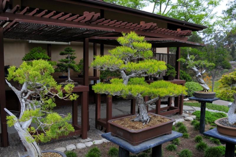 бонсай, исскуство, обрезание, миниатюризация, Китай, Япония, традиции, уход, советы, растения, деревья, сад, горшки