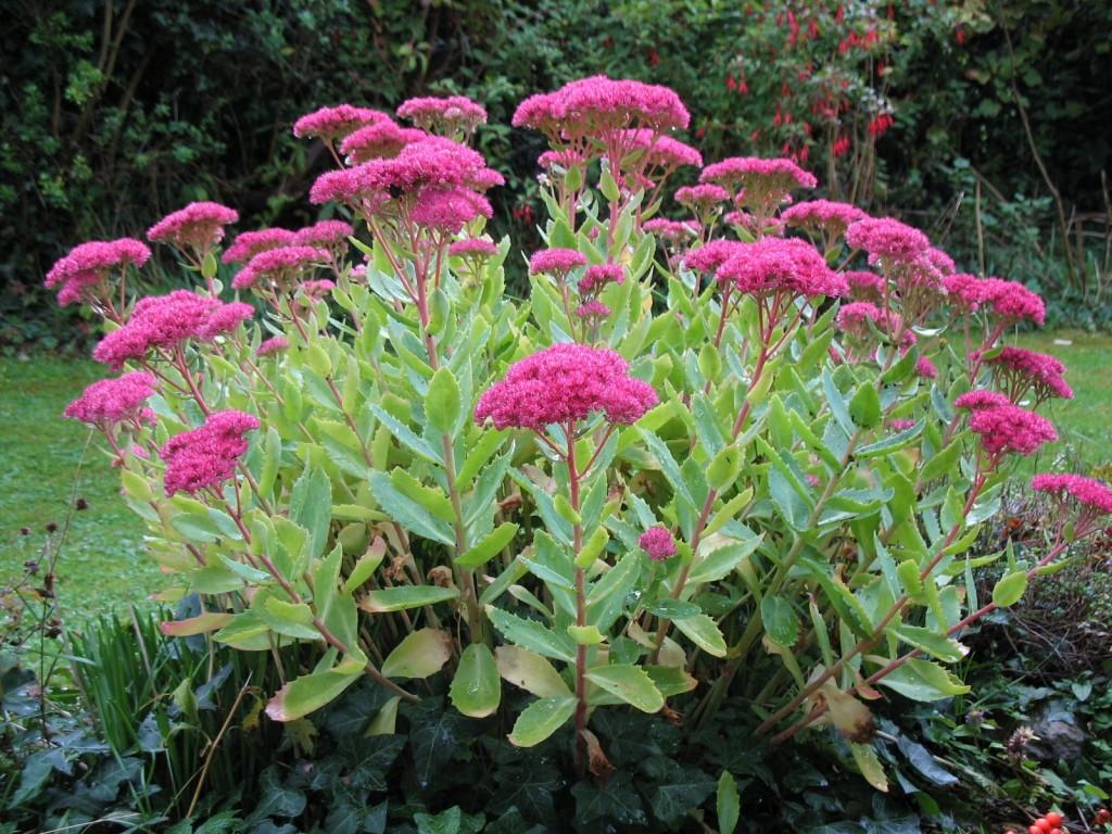 очиток, осенние цветы, осенний сад, декор сада
