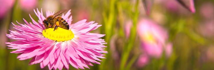 декор саду, красивий сад, медоносні рослини, ехінацея, крокуси