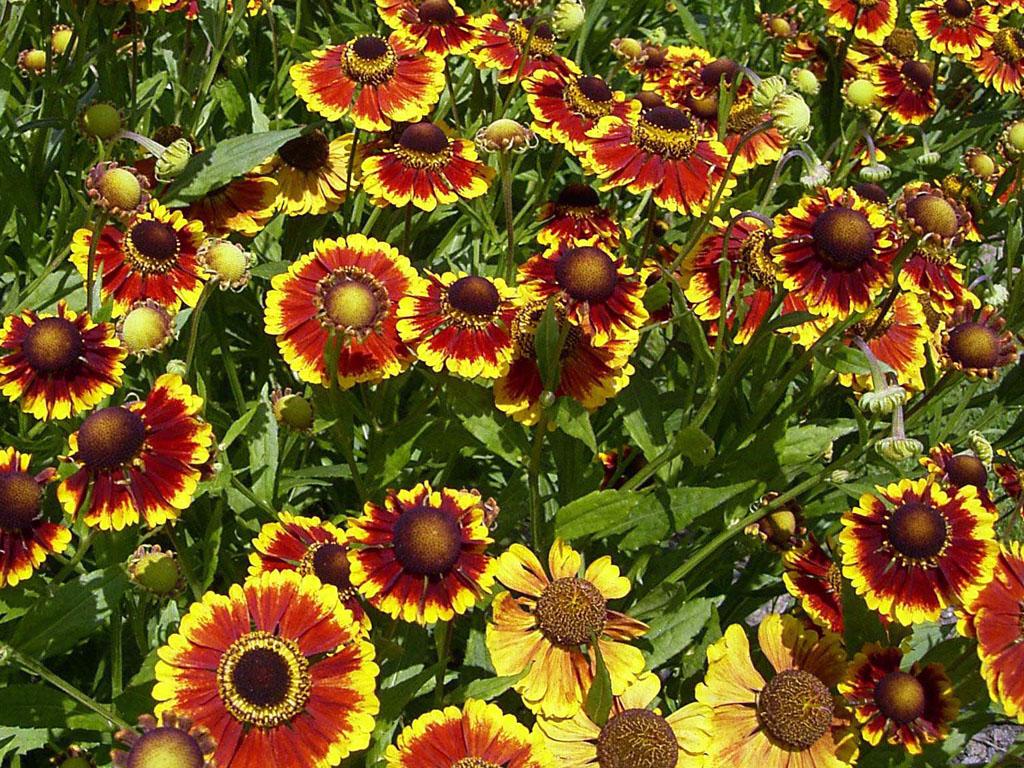 эхинацея, осенние цветы, осенний сад, декор сада