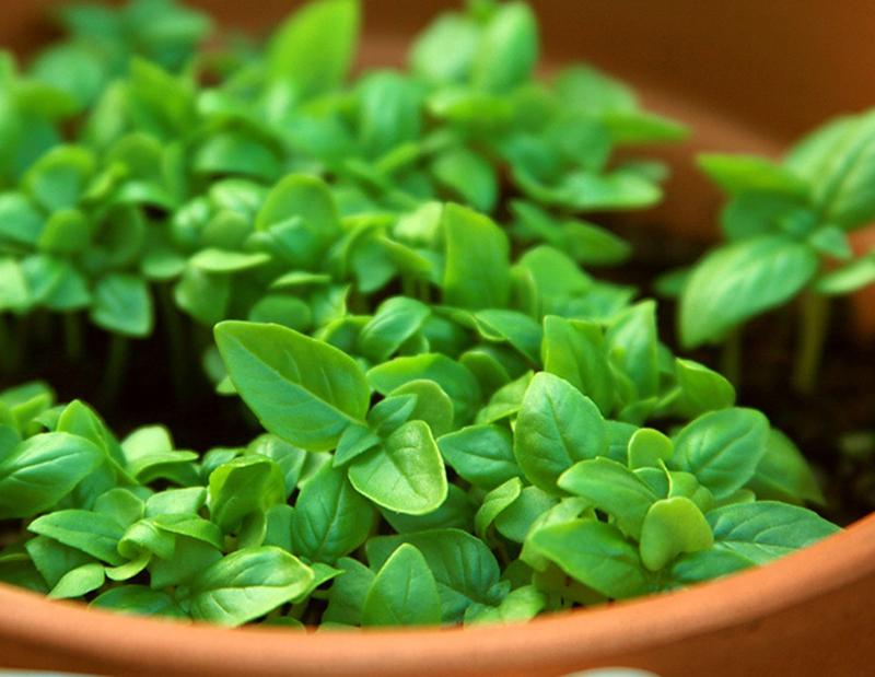 базилік, трави, приправи, горщики, догляд, растения, уход, базилик