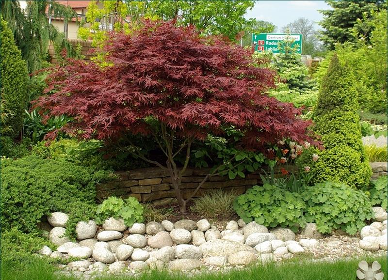 червоний, сад, город, растения, деревья, уход, барбарис, клен