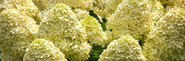 гортензия, сад, растения, уход, підрізання, догляд, квіти
