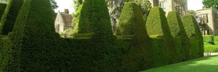 хеджування, поради, сад, квіти, рослини, туи, уход, растения, забор, изгородь